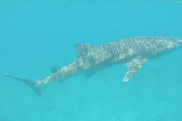 Squalo Balena Maldive