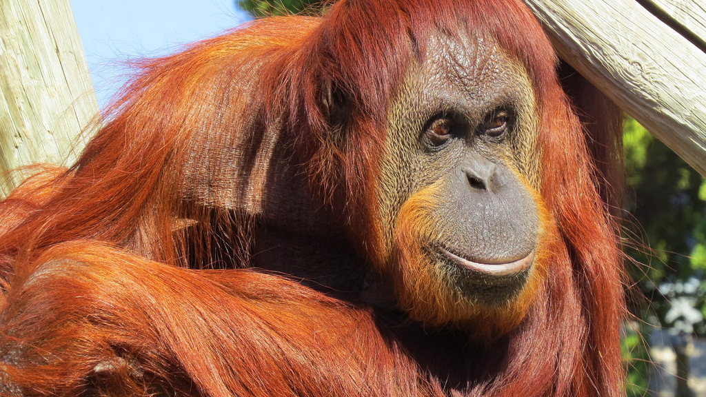 Orangotango nel Borneo