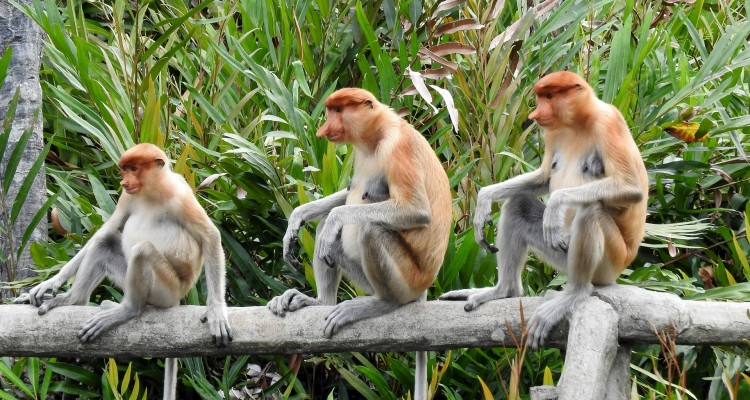 Borneo Malese, Malesia, Indonesia