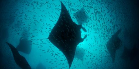 Mante Hanifaru Bay - foto di Thomas Peschak